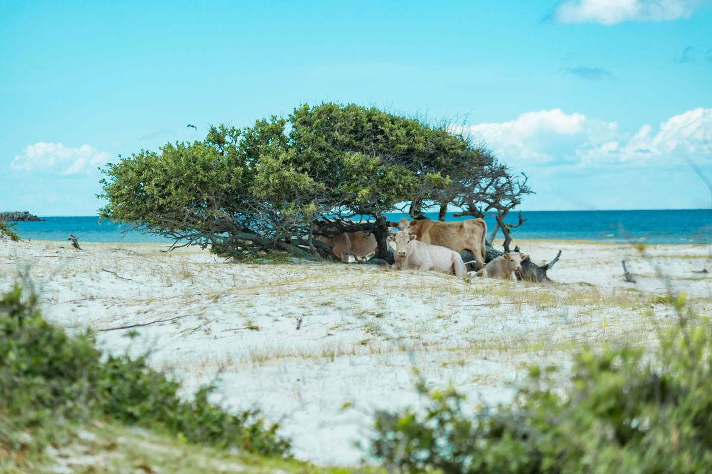 Wild cows lounge on North Carolina's Cedar Island in May 2019. (Paula O'Malley Photography/Paula O'Malley Photography)