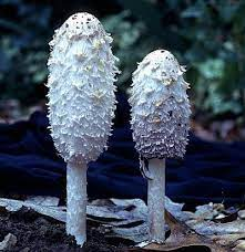 Temperate Climate Permaculture: Shaggy Mane Mushrooms